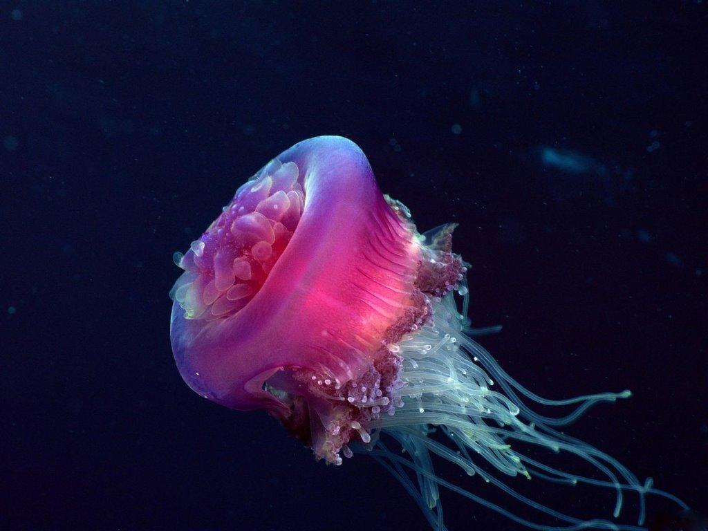 Nature Wallpaper: Jellyfish