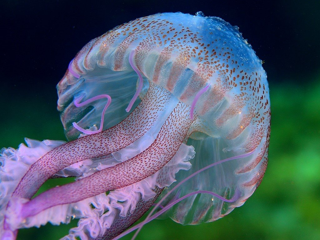 Nature Wallpaper: Jellyfish