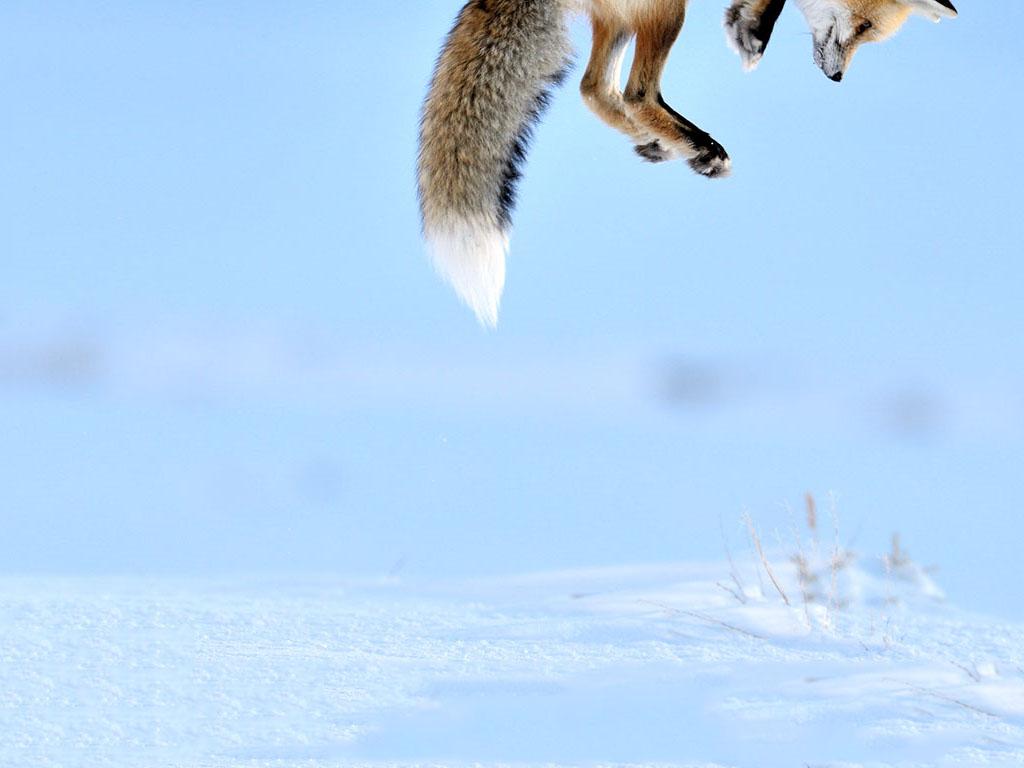 Nature Wallpaper: Jumping Fox