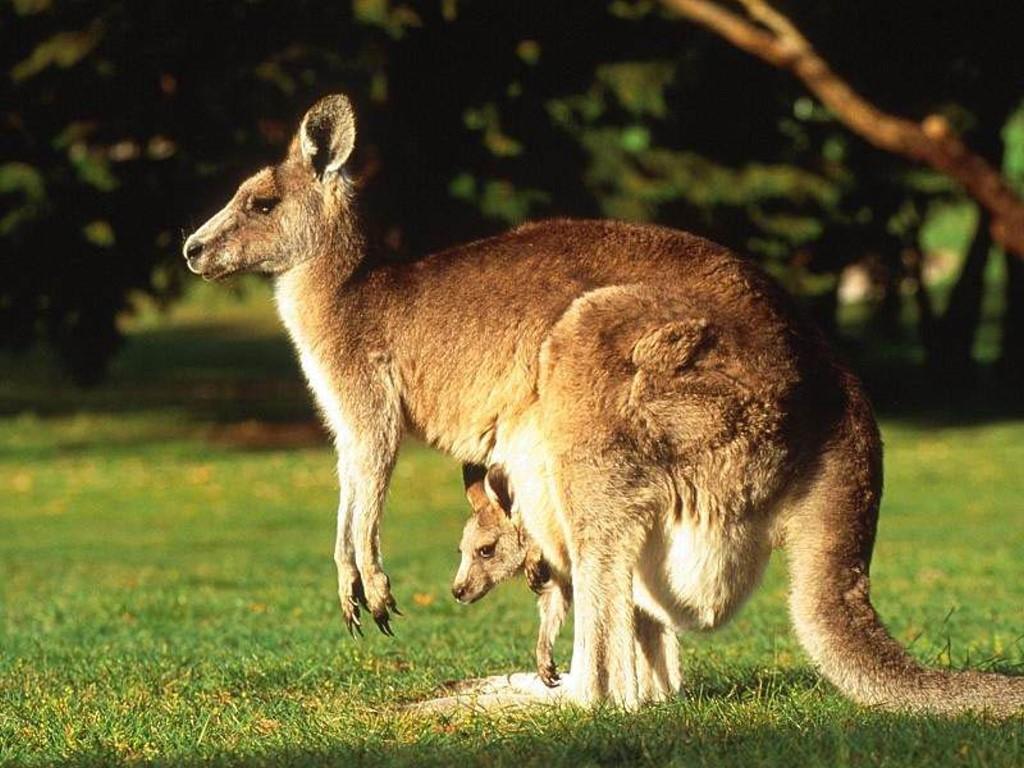 Nature Wallpaper: Kangaroo