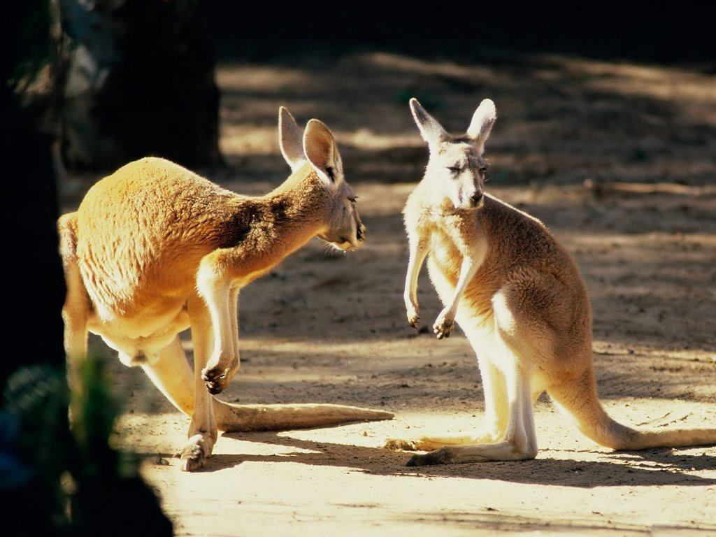 Nature Wallpaper: Kangaroos