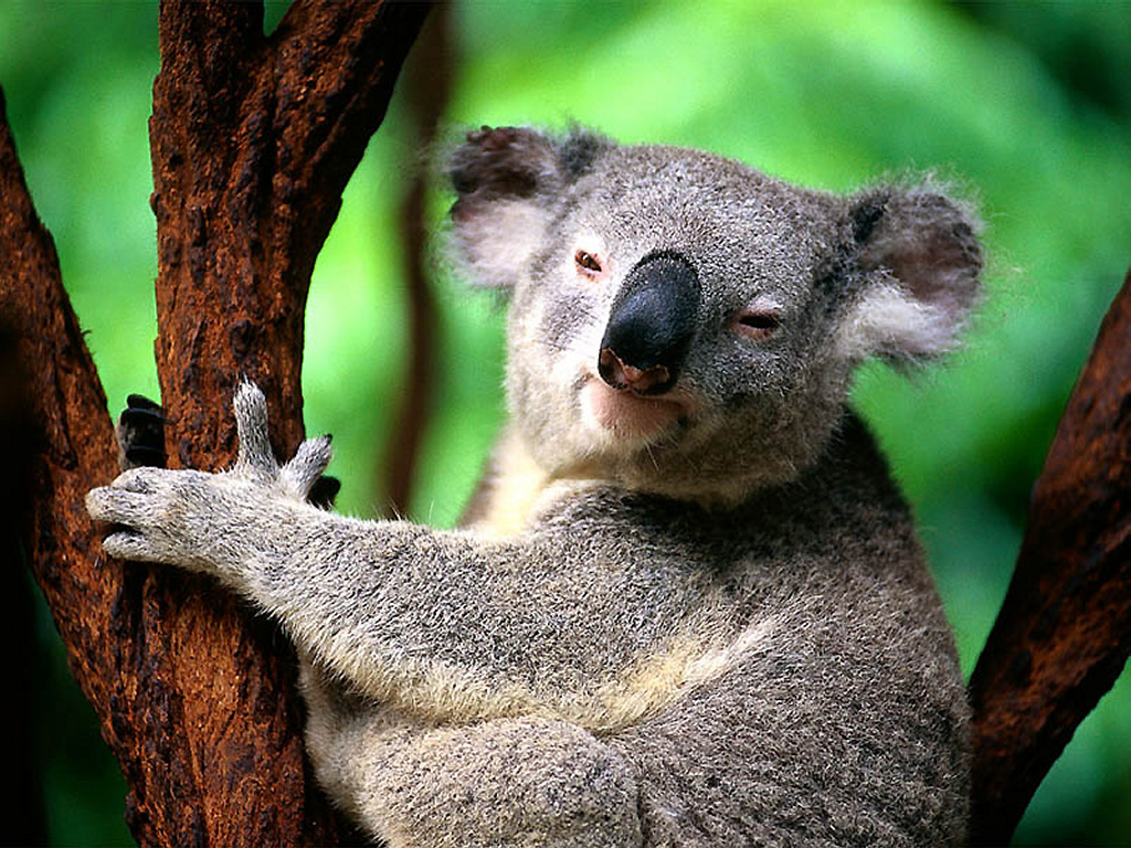 Nature Wallpaper: Koala