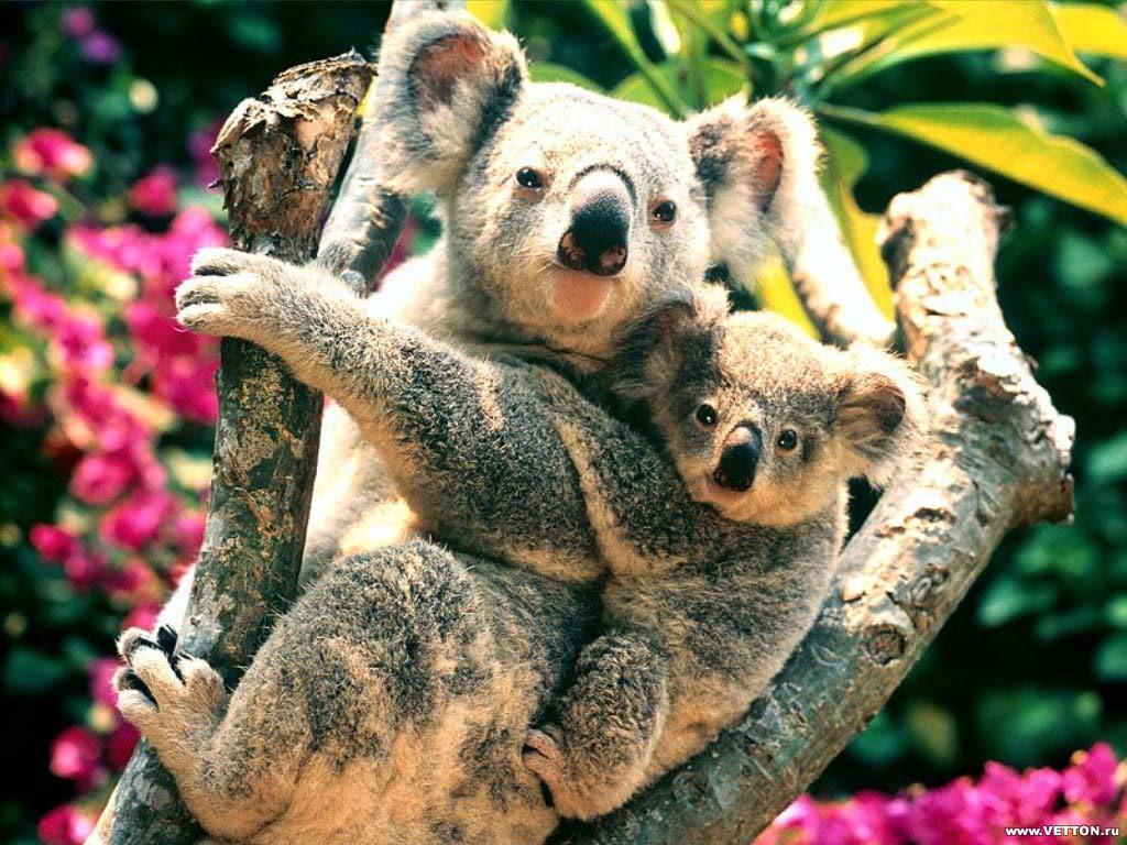 Nature Wallpaper: Koalas