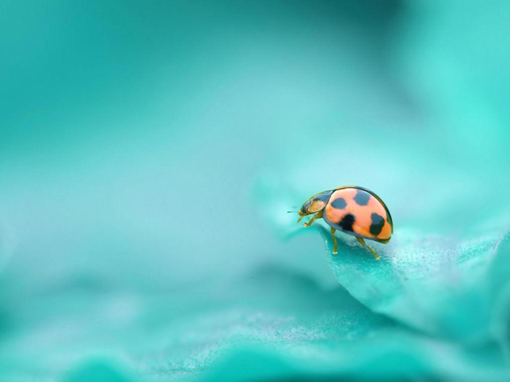 Nature Wallpaper: Lady Beetle