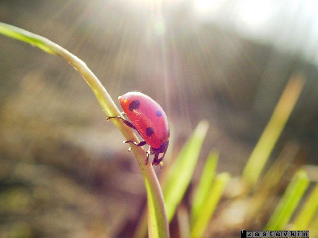 Nature Wallpaper: Ladybug