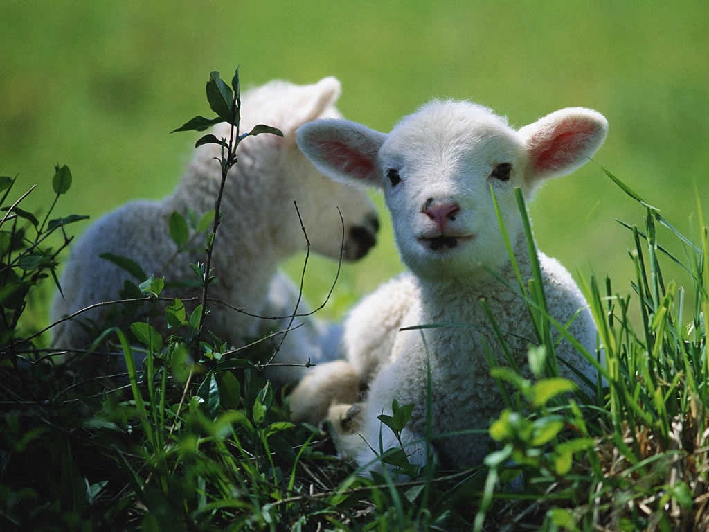 Nature Wallpaper: Lambs