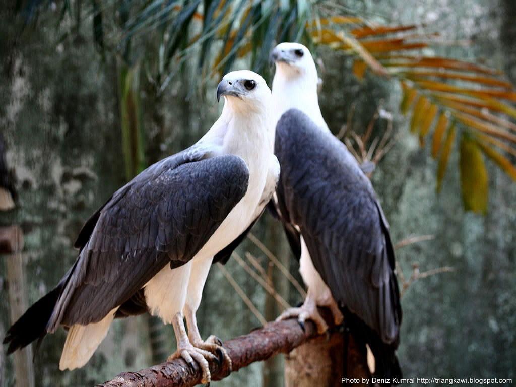Nature Wallpaper: Langkawi Eagles