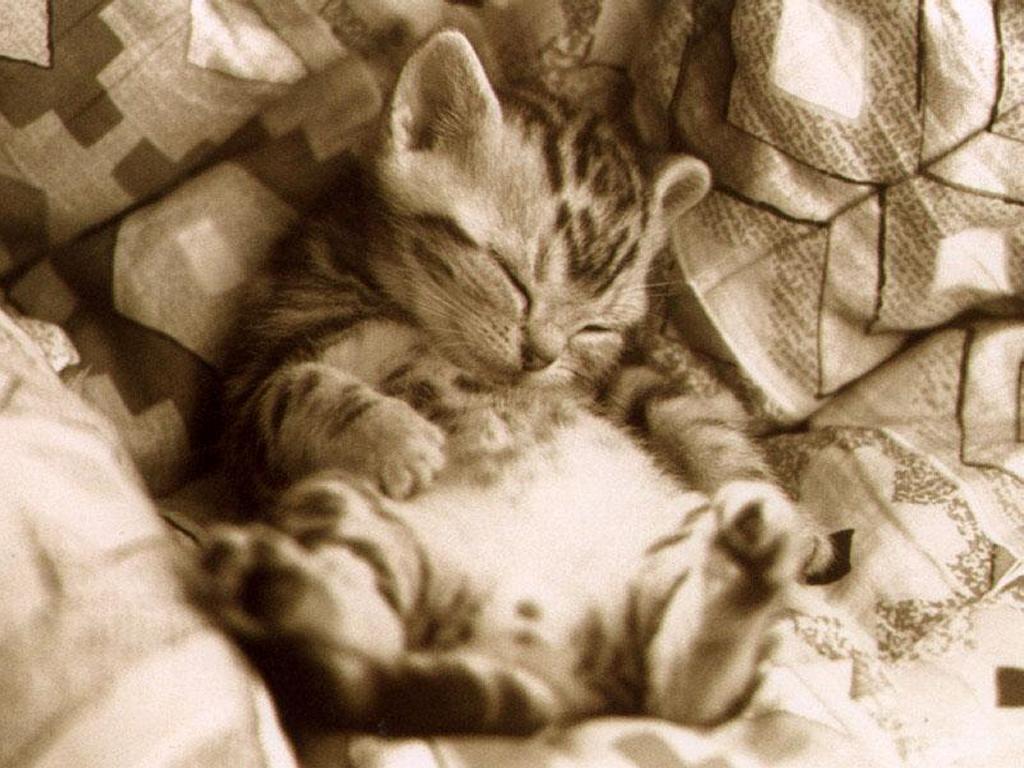 Nature Wallpaper: Lazy Kitten