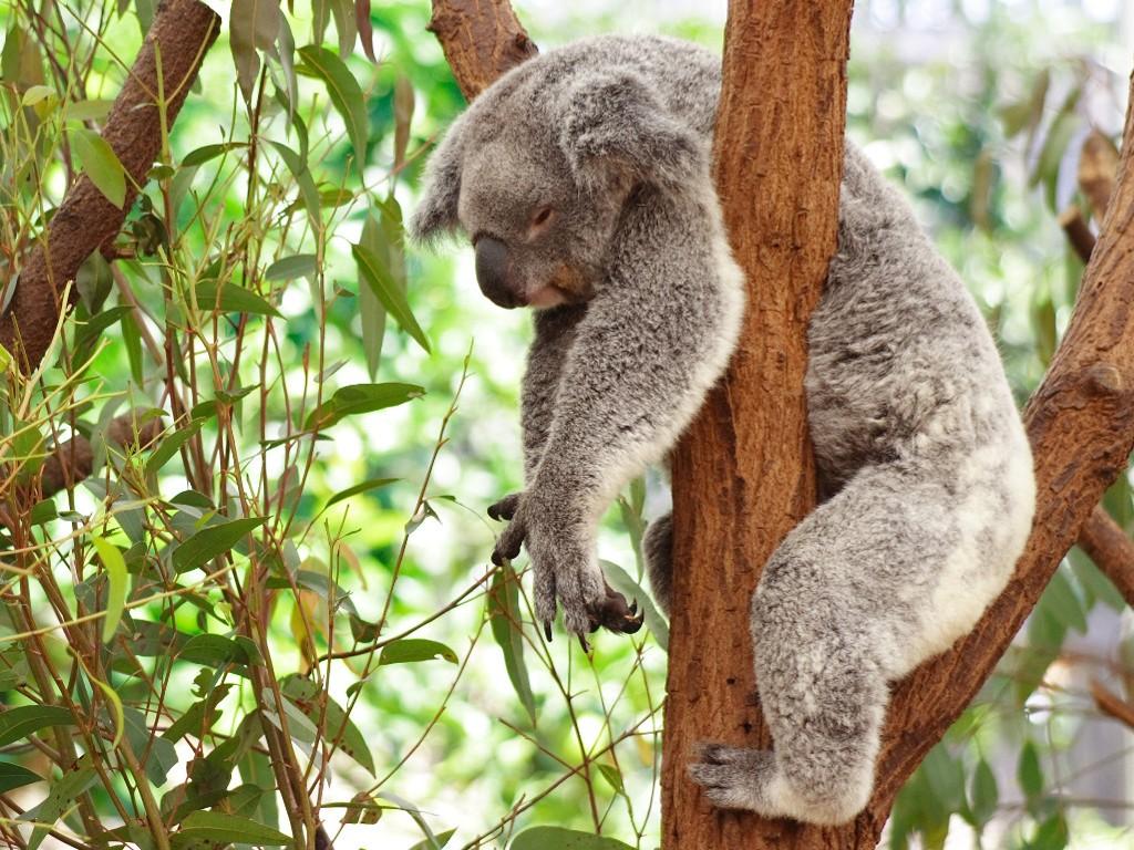 Nature Wallpaper: Koala