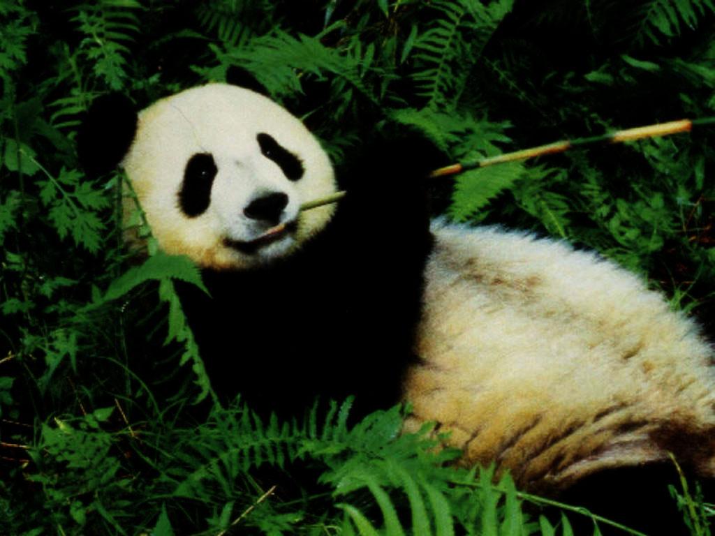 Nature Wallpaper: Lazy Panda