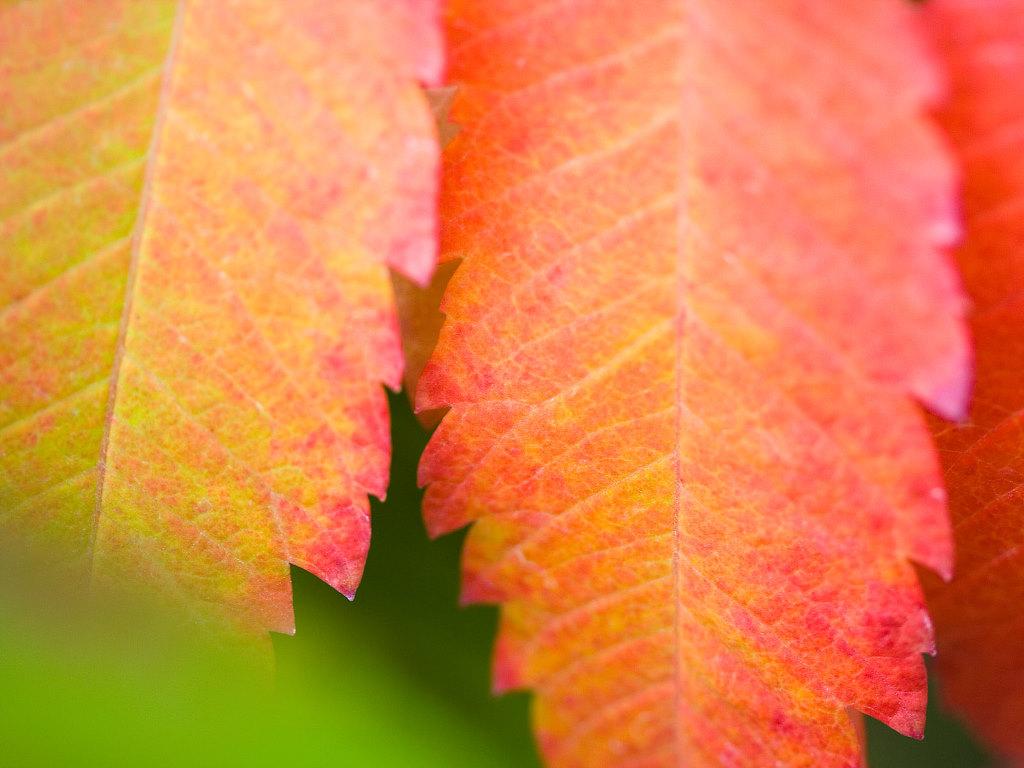 Nature Wallpaper: Leaf