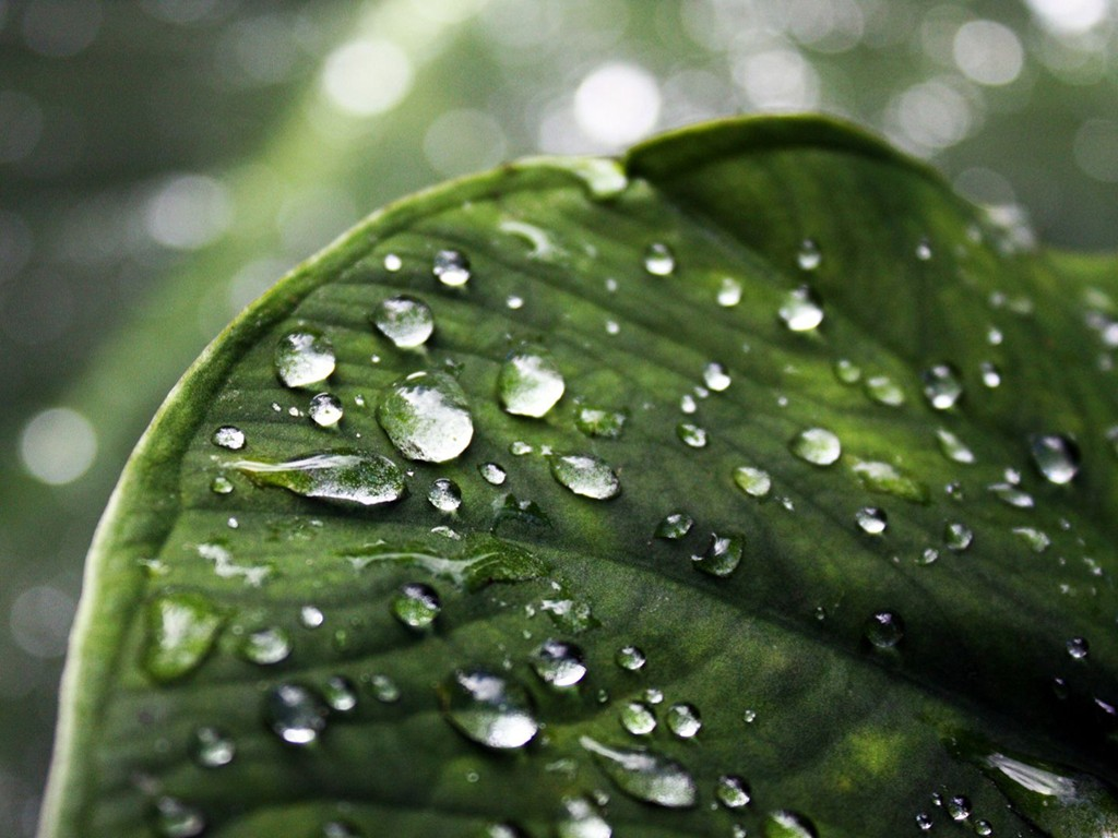 Nature Wallpaper: Leaf - Drops of Water