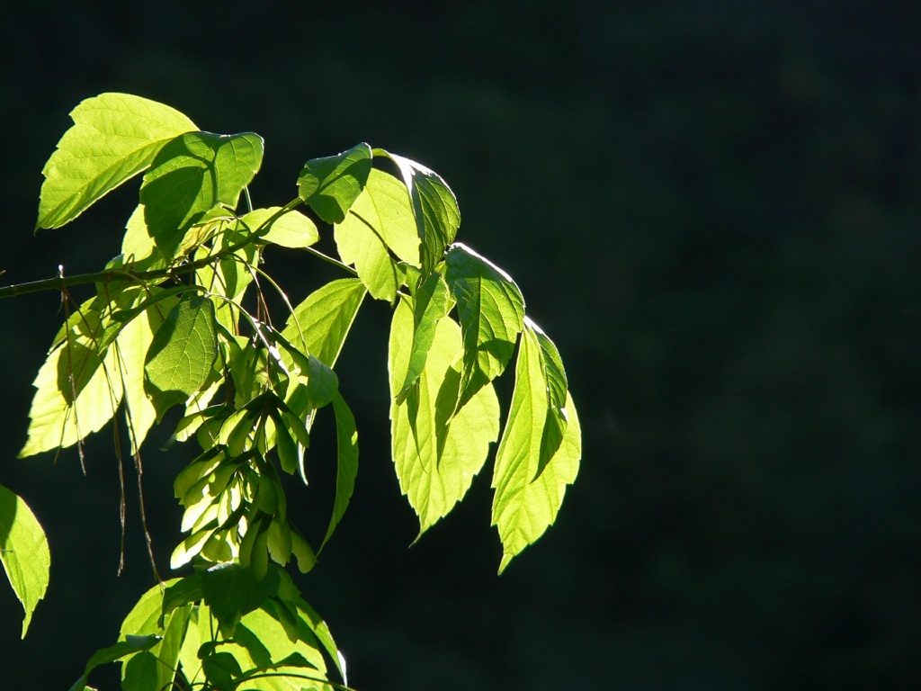 Nature Wallpaper: Leaves in the Sun