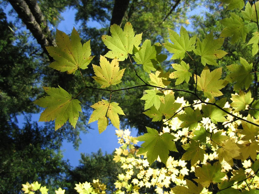 Nature Wallpaper: Leaves