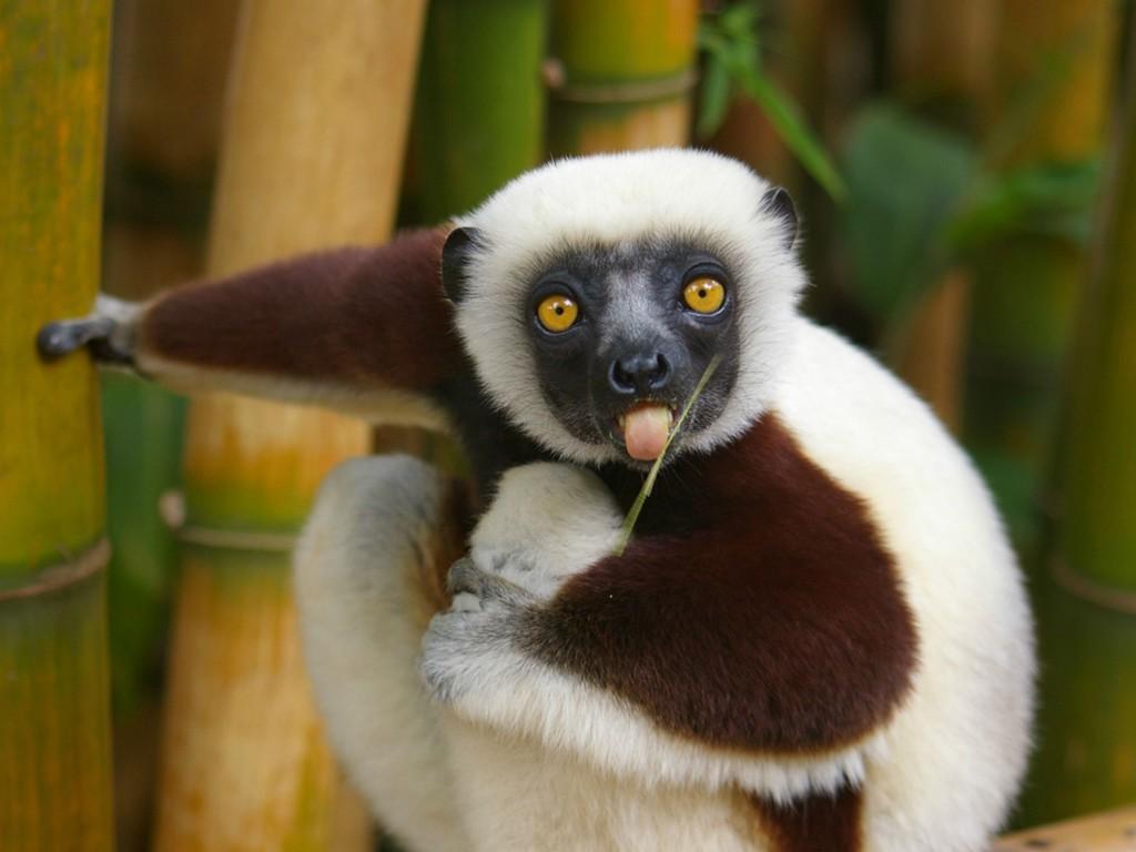 Nature Wallpaper: Lemur