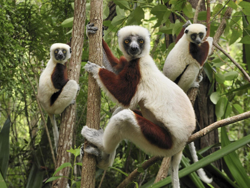 Nature Wallpaper: Lemurs