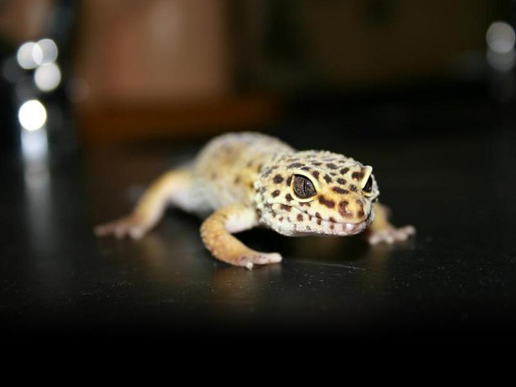 Nature Wallpaper: Leopard Gecko
