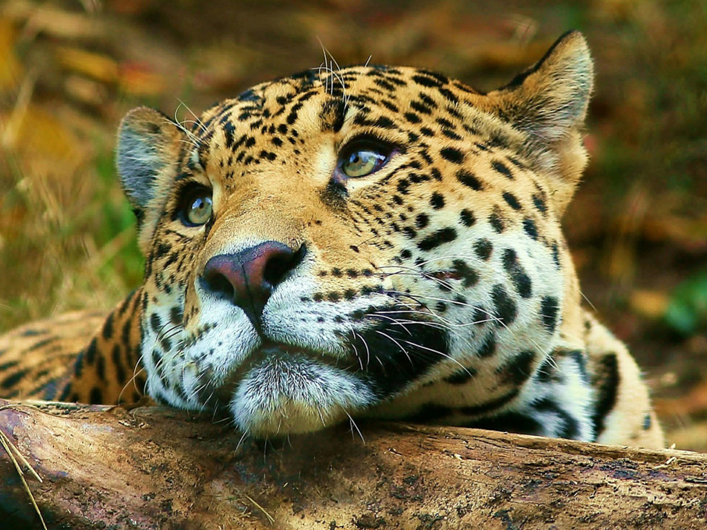 Nature Wallpaper: Leopard