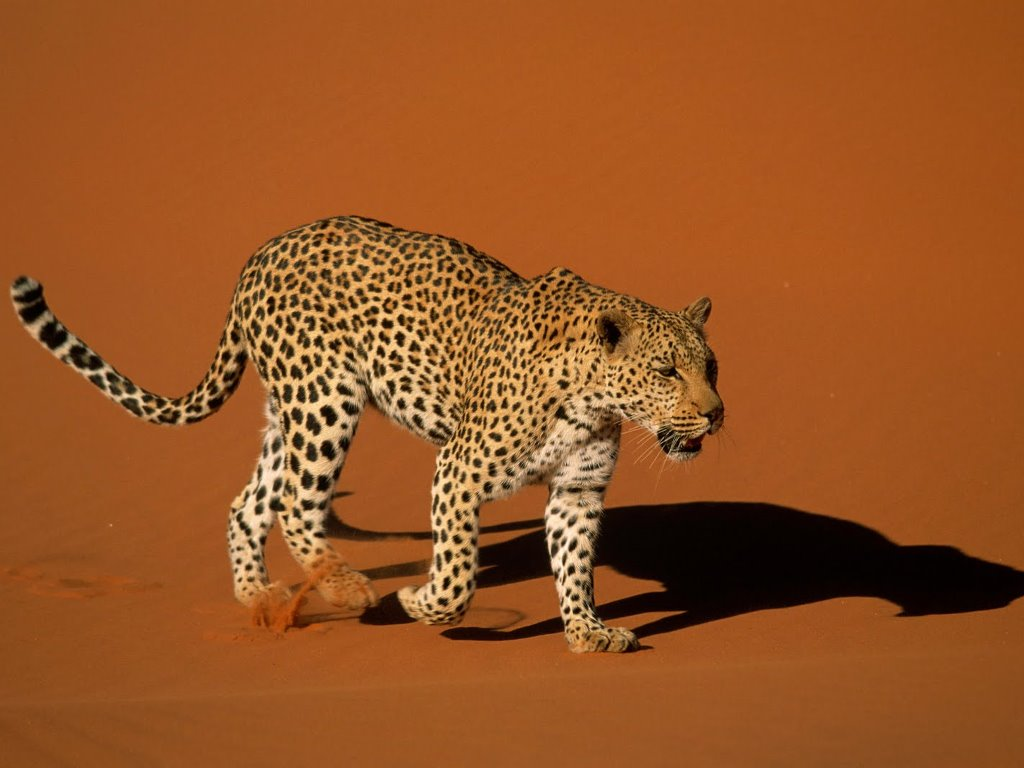 Nature Wallpaper: Leopard