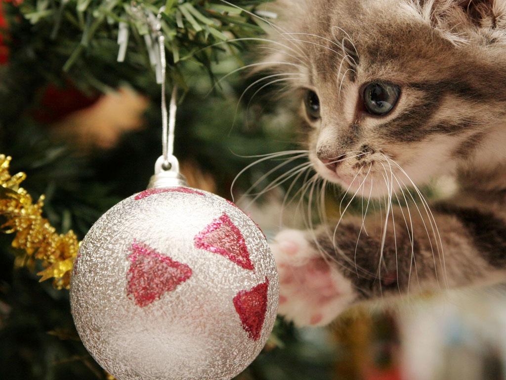 Nature Wallpaper: Little Cat - Christmas