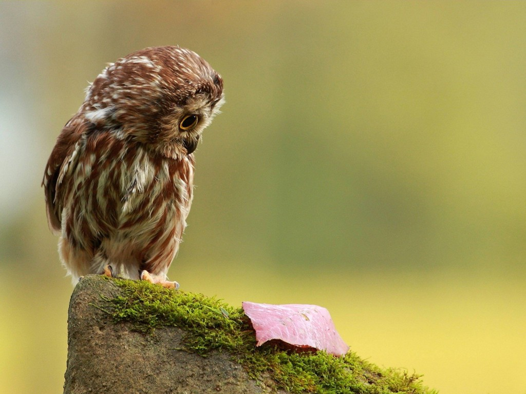 Nature Wallpaper: Lil Owl
