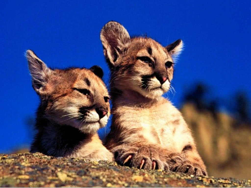 Nature Wallpaper: Lil Pumas