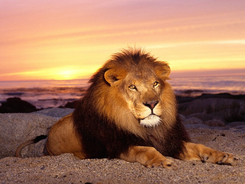 Nature Wallpaper: Lion
