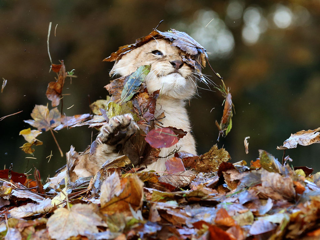 Nature Wallpaper: Lion Cub - Dry Leaves