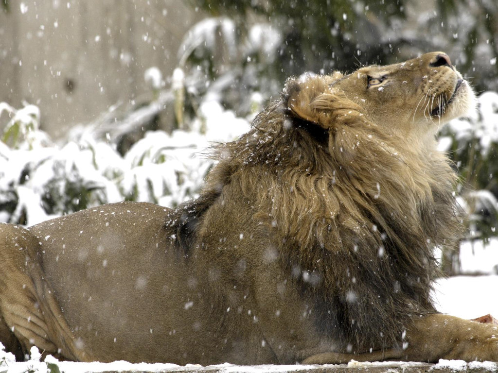 Nature Wallpaper: Lion - First Snow