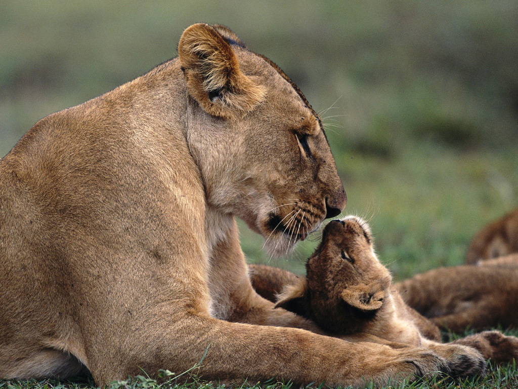 Nature Wallpaper: Lioness and Cub