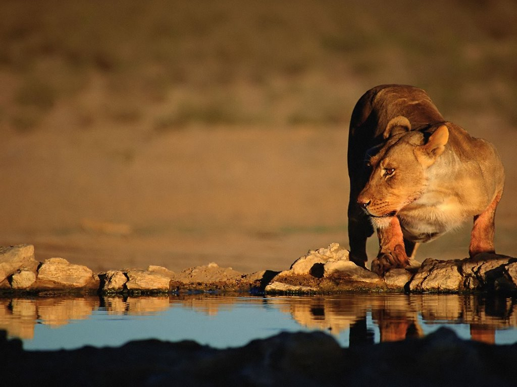 Nature Wallpaper: Lioness on the Watering