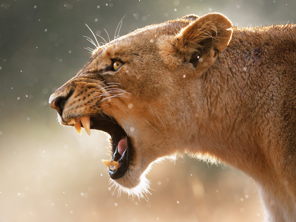 Nature Wallpaper: Lioness