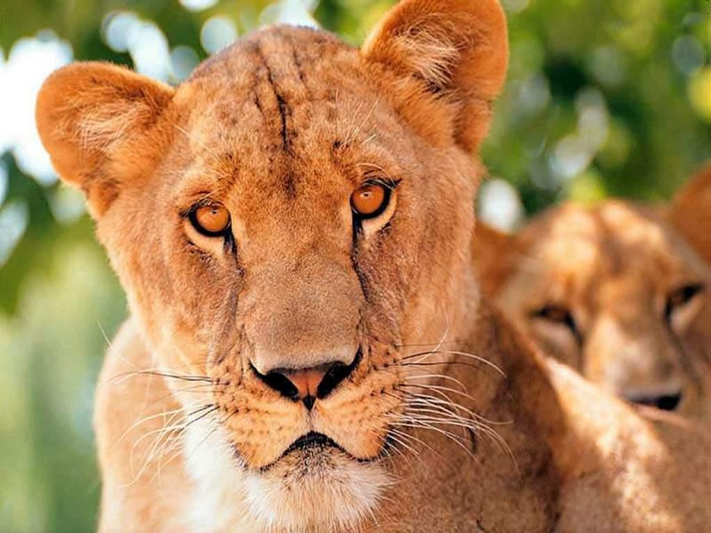 Nature Wallpaper: Lions