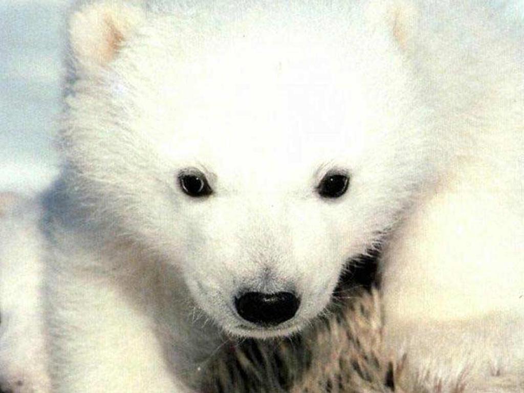 Nature Wallpaper: Little Bear