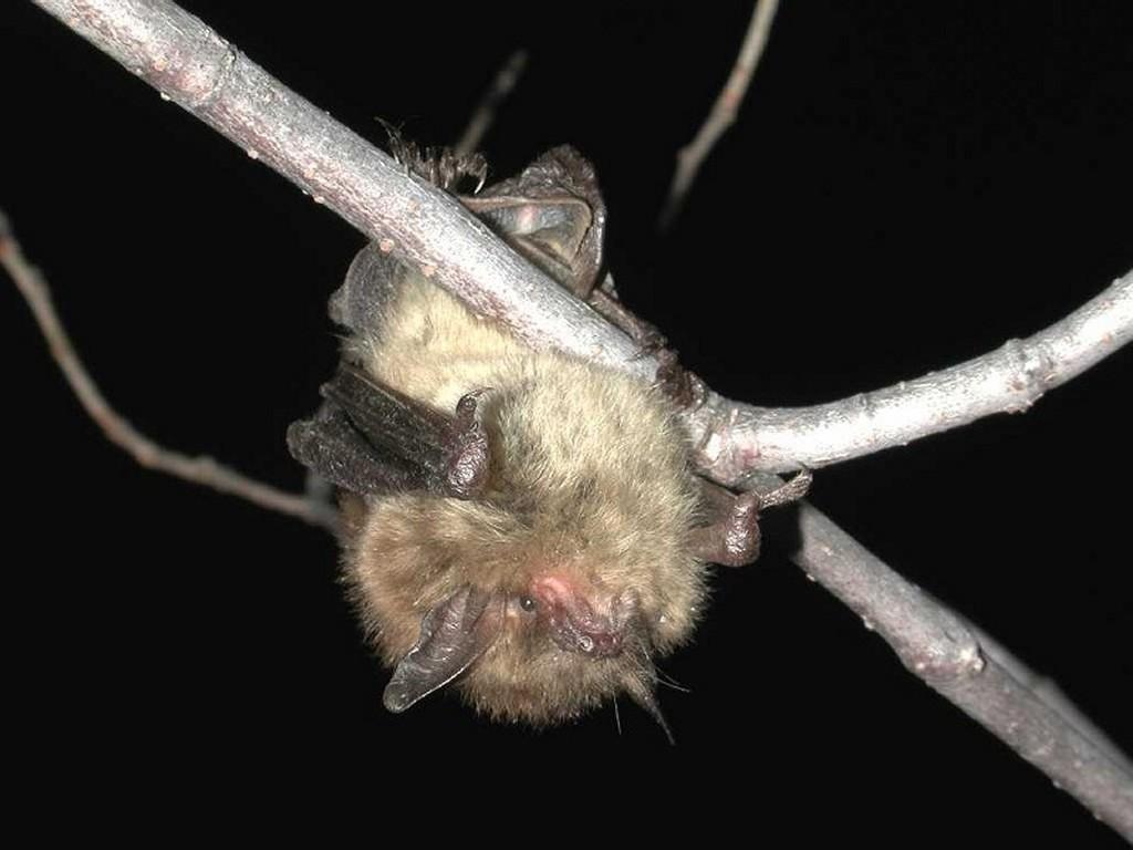 Nature Wallpaper: Little Brown Bat