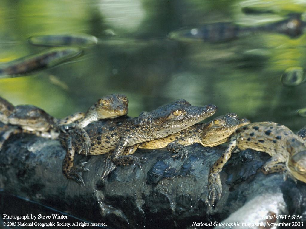 Nature Wallpaper: Little Crocodiles