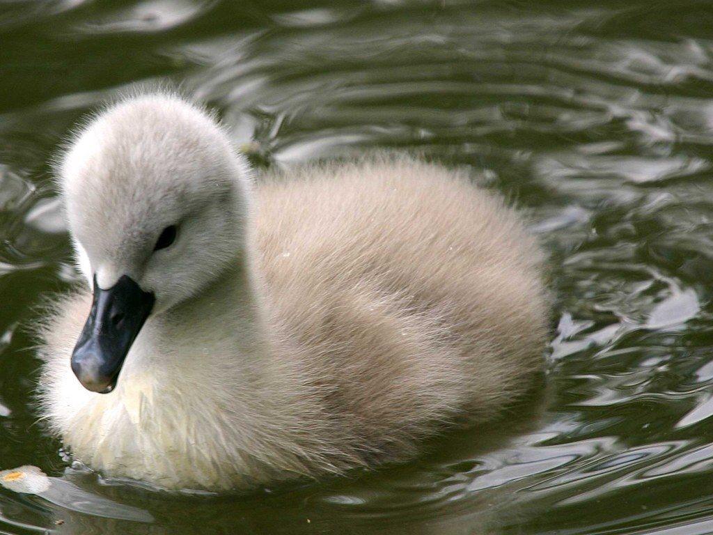 Nature Wallpaper: Little Duck