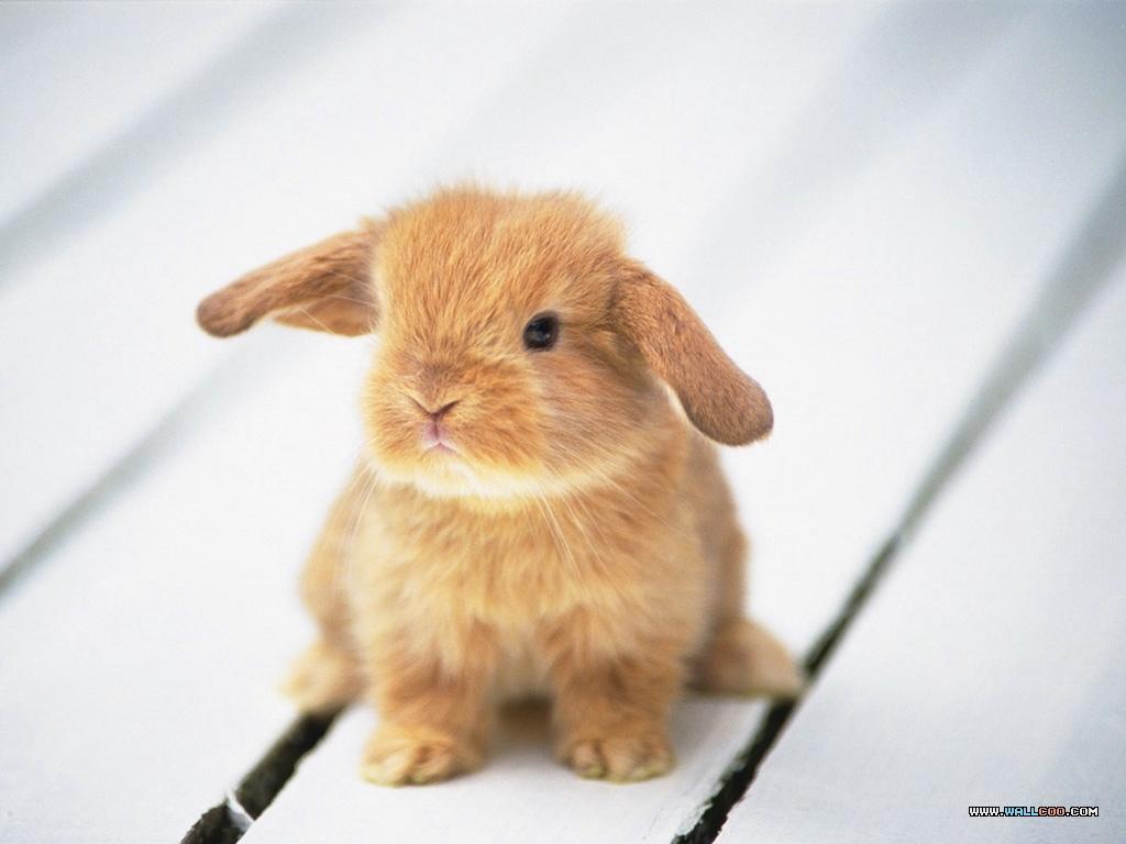 Nature Wallpaper: Little Rabbit