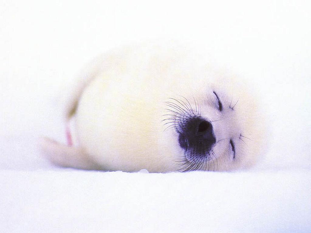 Nature Wallpaper: Little Seal