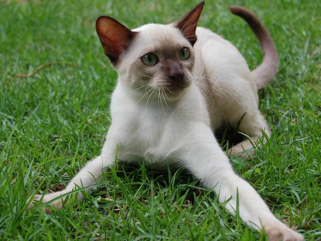 Nature Wallpaper: Little Siamese Cat