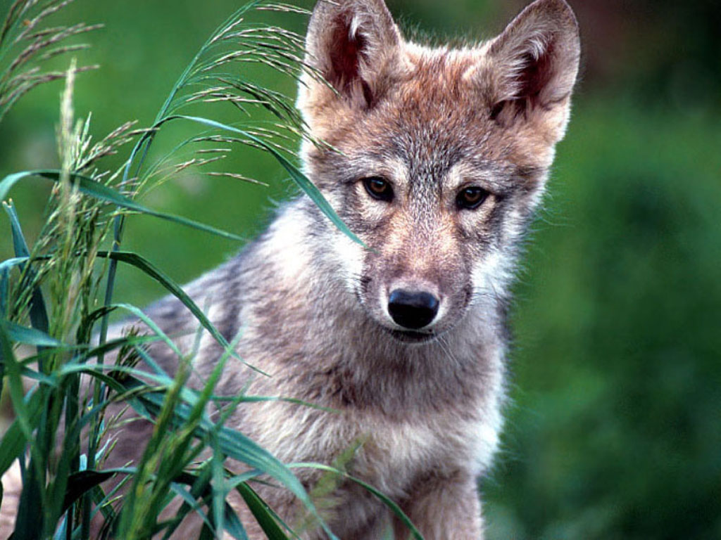 Nature Wallpaper: Little Wolf