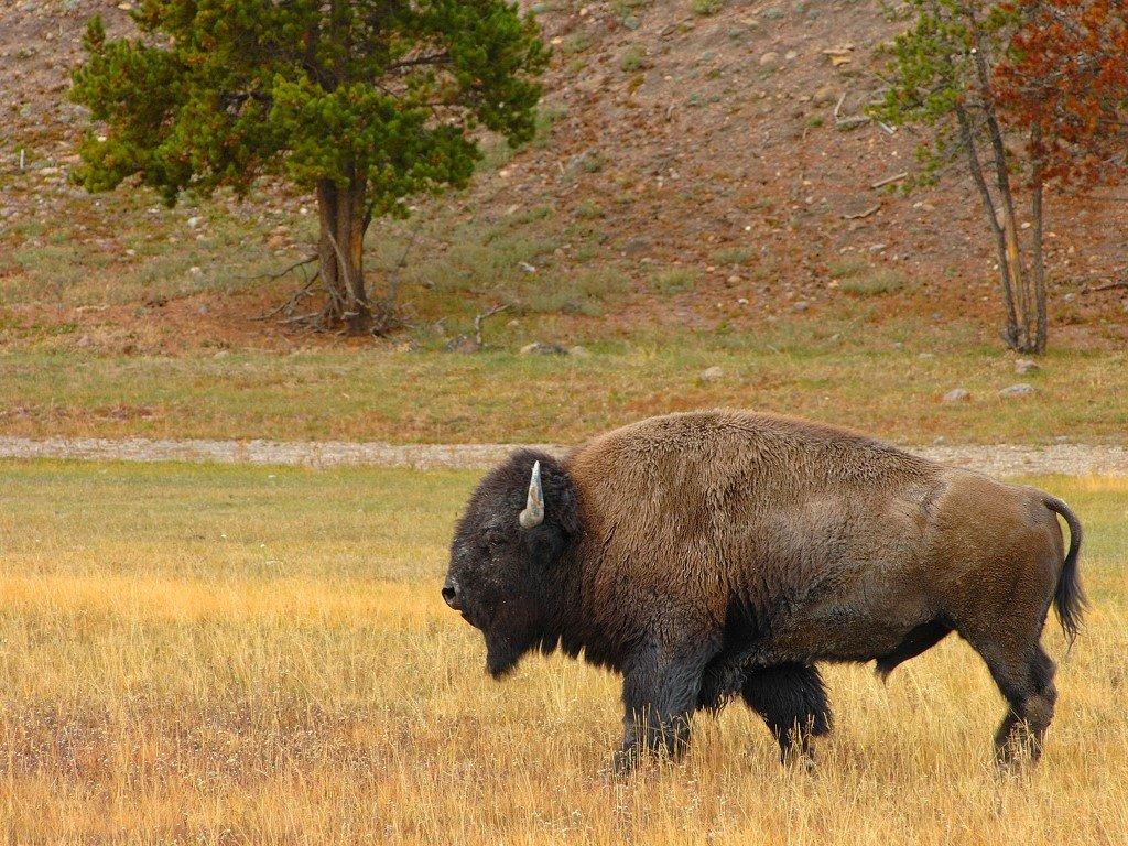 Nature Wallpaper: Lone Bison