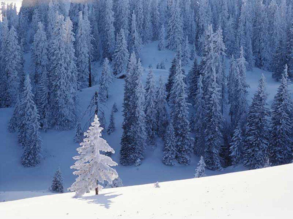 Nature Wallpaper: Lone Pine