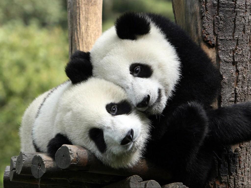 Nature Wallpaper: Pandas