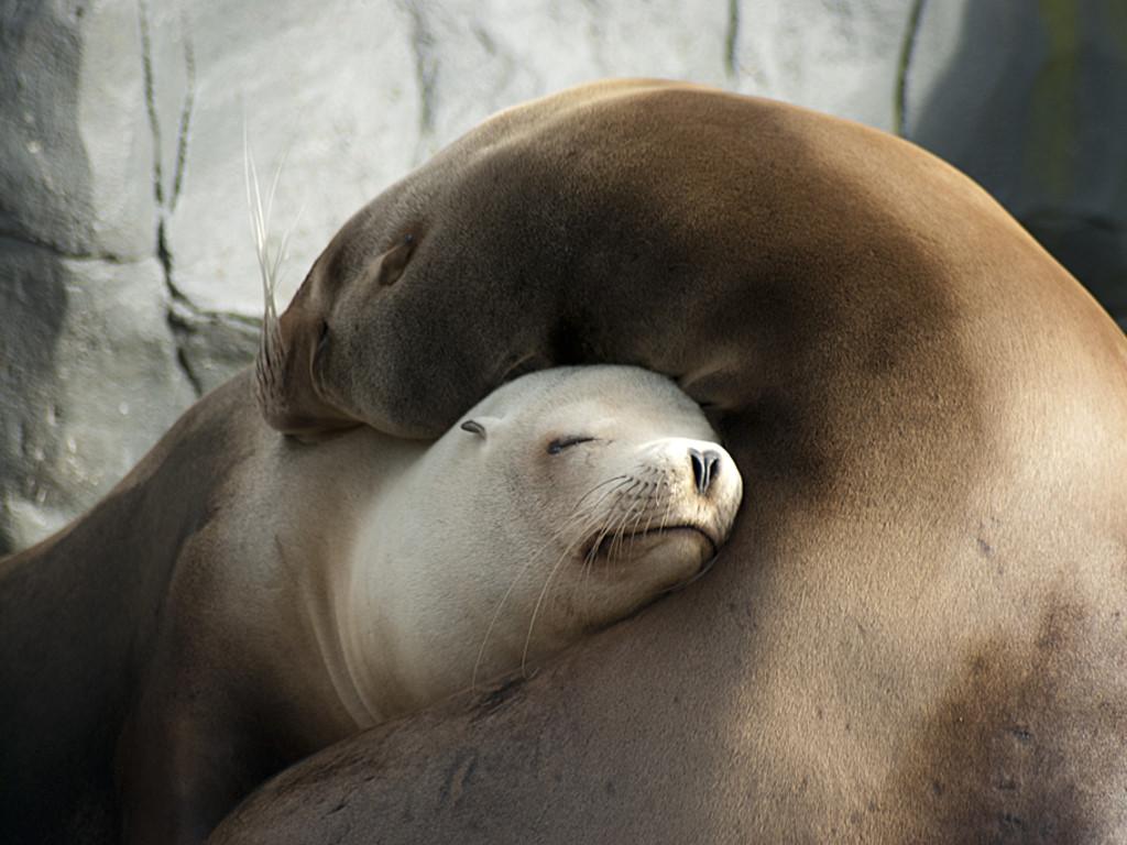 Nature Wallpaper: Loving Seals