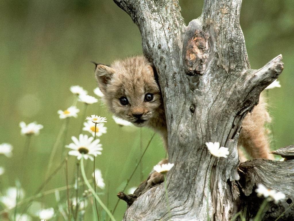 Nature Wallpaper: Lynx - Cub