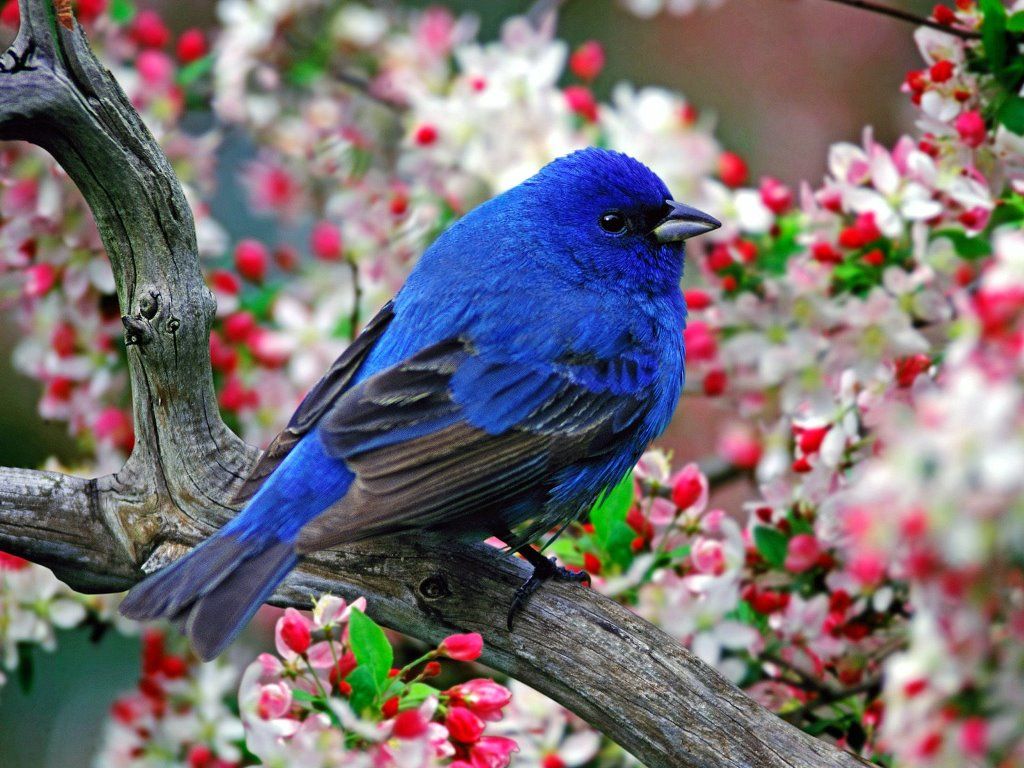 Nature Wallpaper: Indigo Bunting
