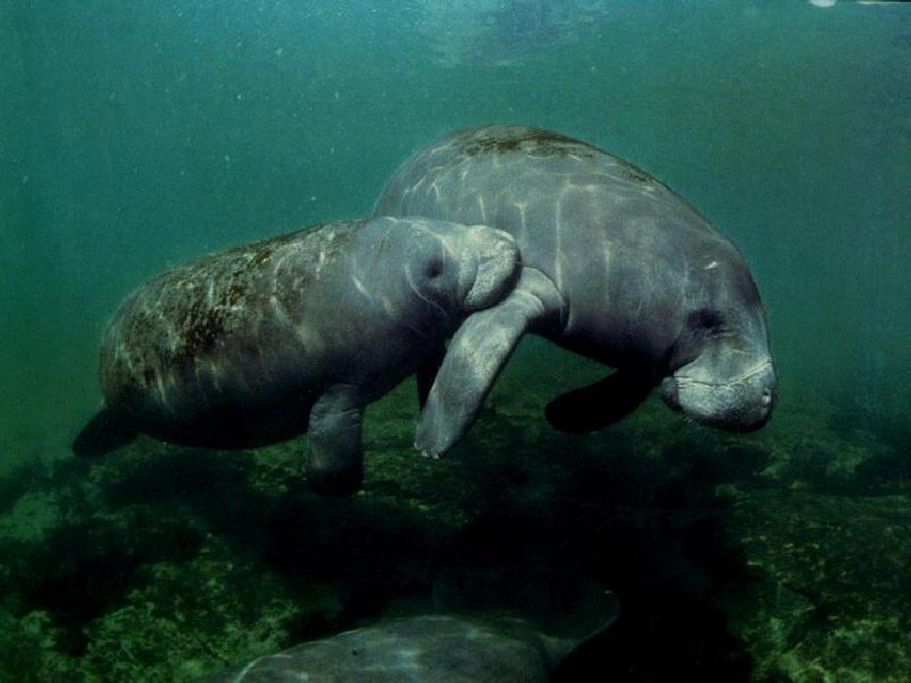 Nature Wallpaper: Manatees