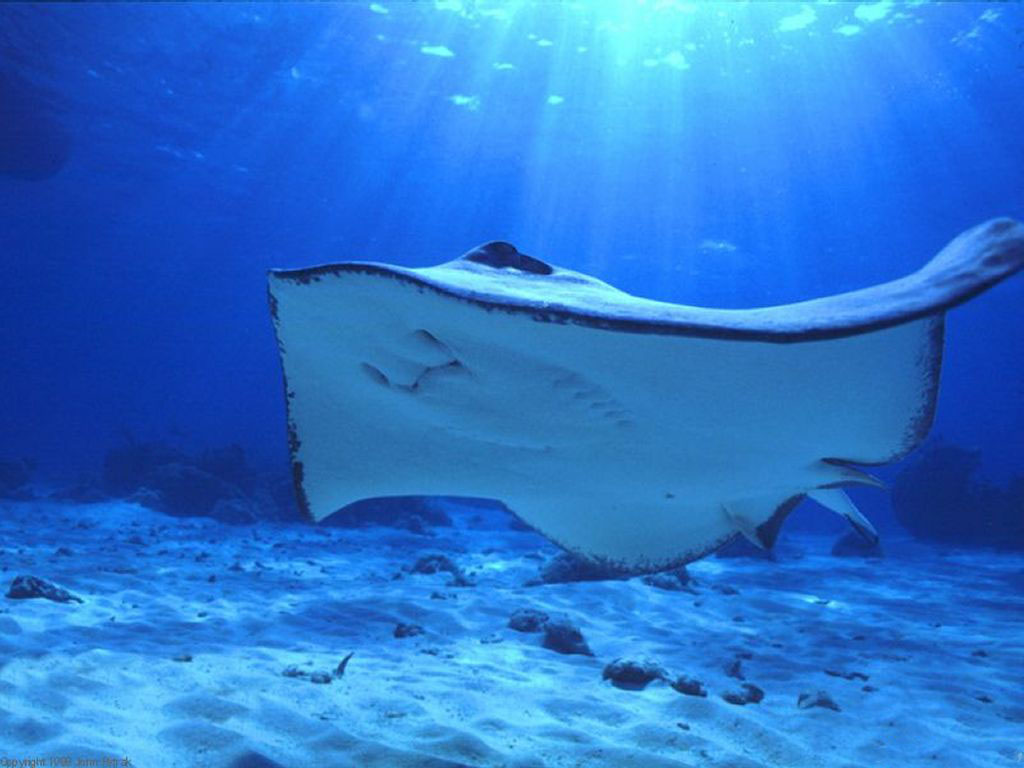 Nature Wallpaper: Manta Ray Blue