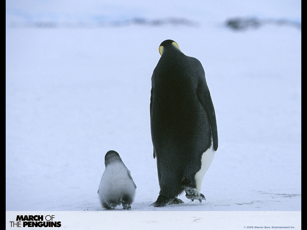 Nature Wallpaper: March of the Penguins